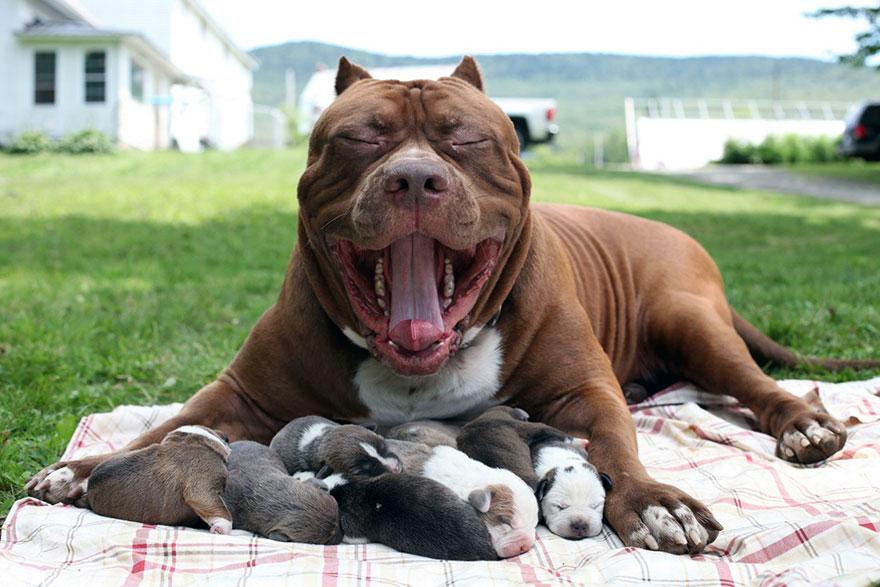 Maior pitbull do mundo (6)