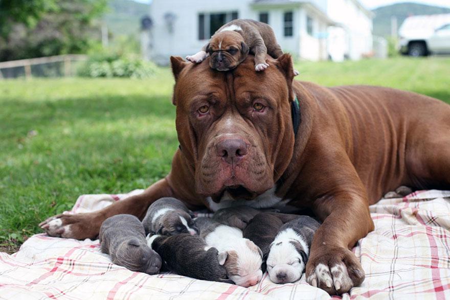 Maior pitbull do mundo (7)