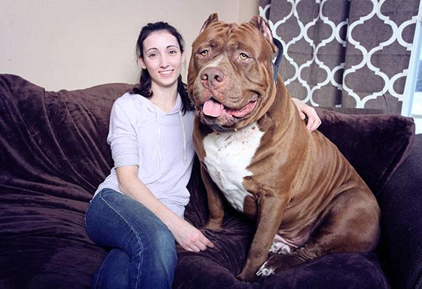 Maior pitbull do mundo - Hulk (1)