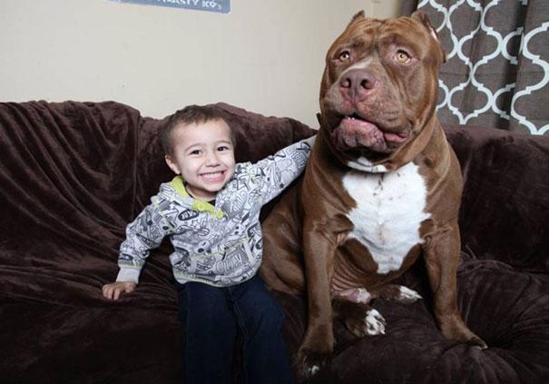 Maior pitbull do mundo - Hulk (2)
