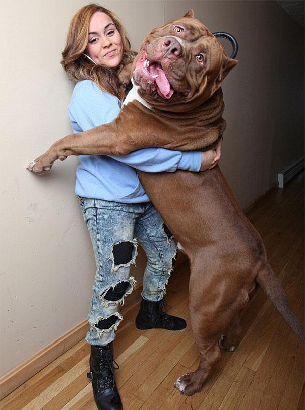Maior pitbull do mundo - Hulk (3)