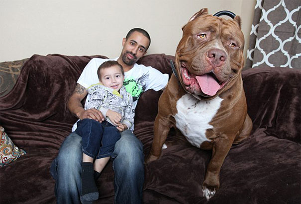 Maior pitbull do mundo - Hulk (6)