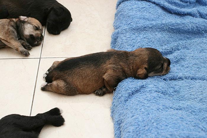 filhotes-de-cachorro-dormem-em-qualquer-lugar (14)