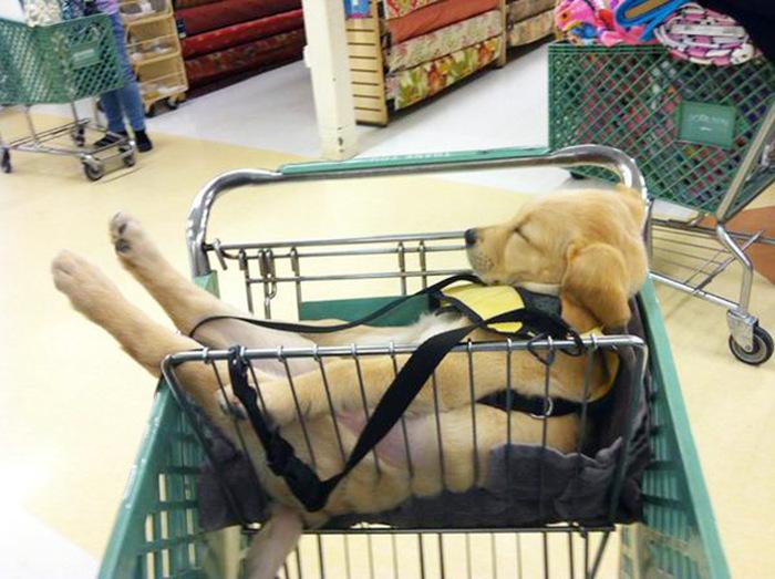 filhotes-de-cachorro-dormem-em-qualquer-lugar (22)