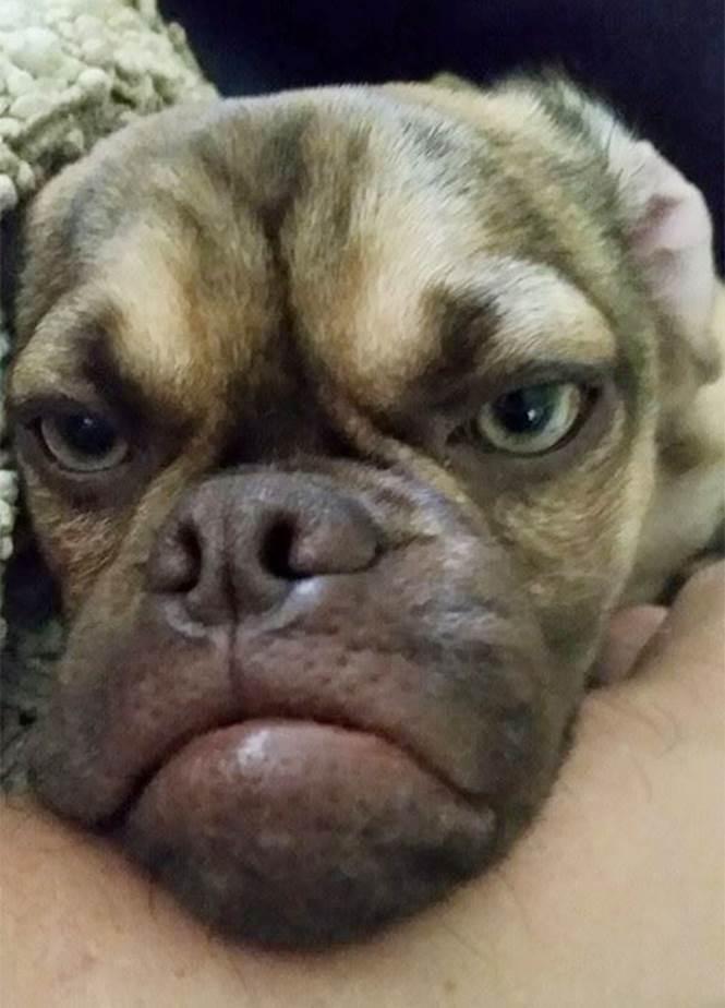 Earl-o-cachorro-mais-mal-humorado-da-internet (5)