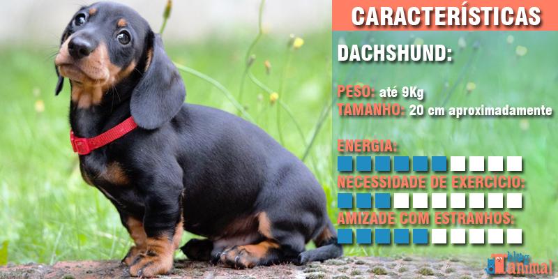 cachorros para apartamento - dachshung