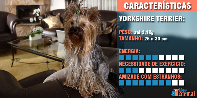 cachorros para apartamento - yorkshire terrier