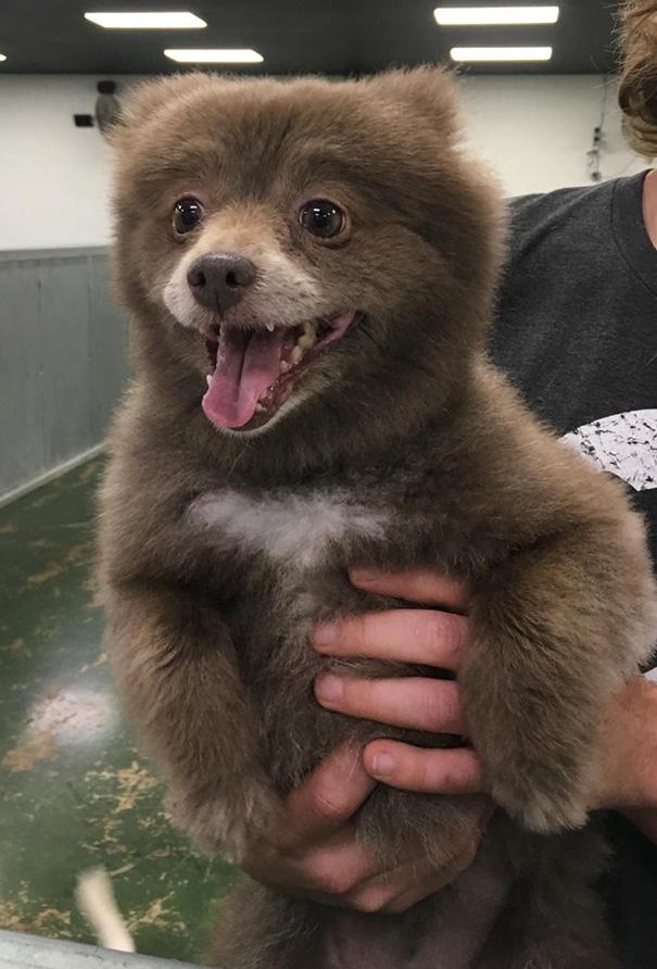 cachorros-que-se-parecem-com-ursos (1)