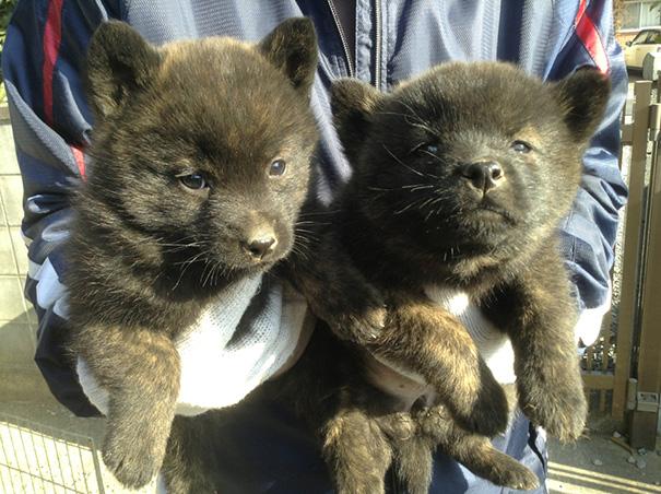cachorros-que-se-parecem-com-ursos (10)