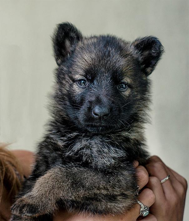cachorros-que-se-parecem-com-ursos (13)