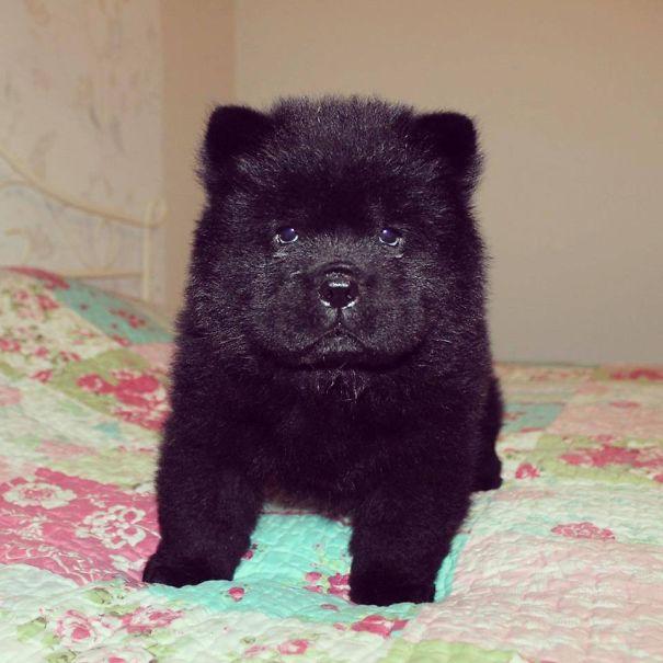 cachorros-que-se-parecem-com-ursos (15)