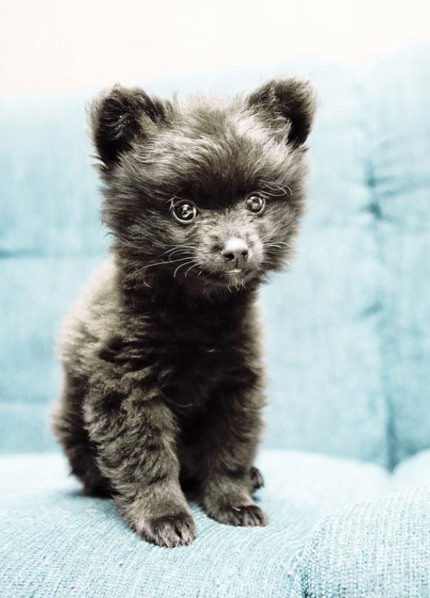 cachorros-que-se-parecem-com-ursos (16)