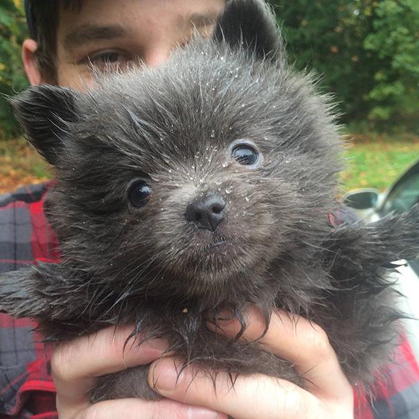 cachorros-que-se-parecem-com-ursos (2)