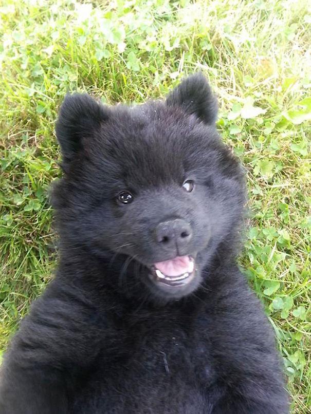cachorros-que-se-parecem-com-ursos (4)