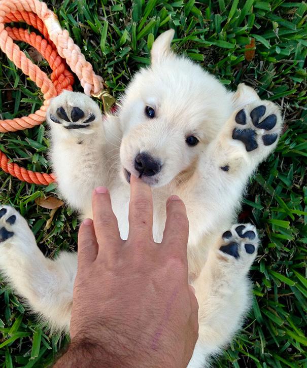 cachorros-que-se-parecem-com-ursos (7)