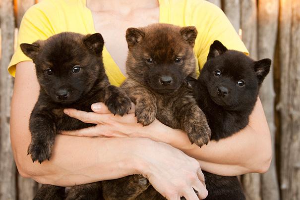cachorros-que-se-parecem-com-ursos (8)