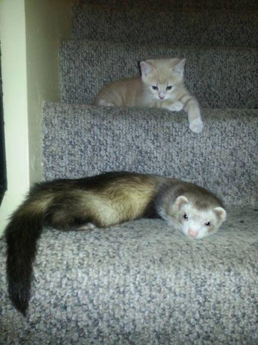 Amizade entre Gatinho e Furões (10)