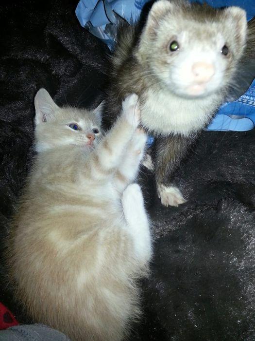 Amizade entre Gatinho e Furões (2)