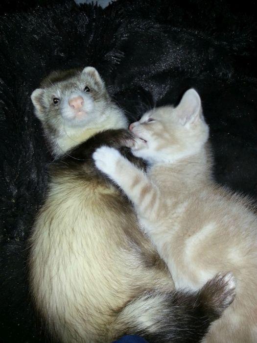 Amizade entre Gatinho e Furões (3)