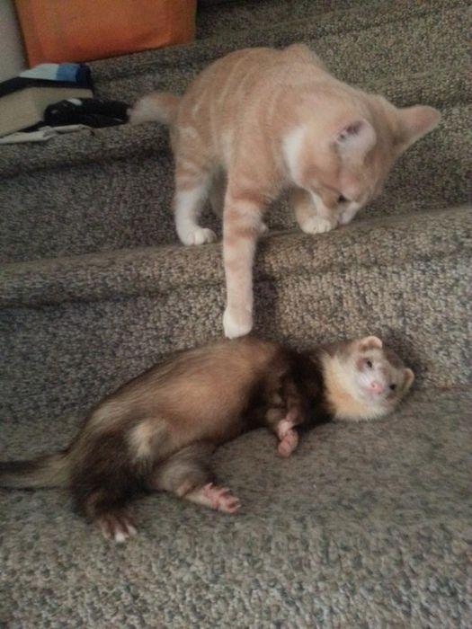 Amizade entre Gatinho e Furões (30)