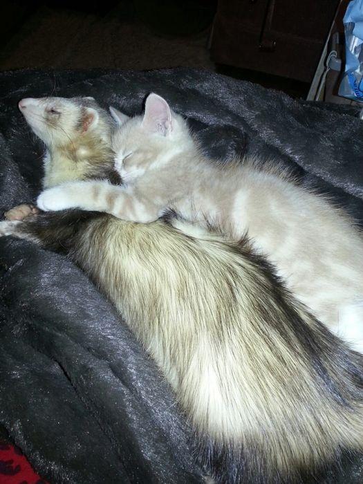 Amizade entre Gatinho e Furões (4)