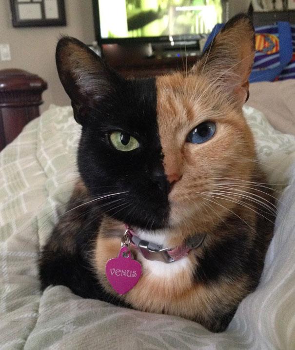 Venus, o gato de duas caras
