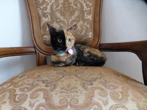 Conheça Venus, um gato com duas faces (10)