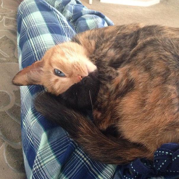 Conheça Venus, um gato com duas faces (11)