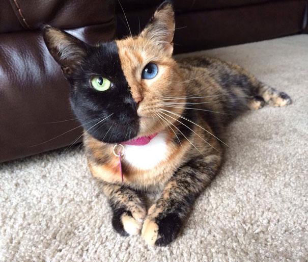 Conheça Venus, um gato com duas faces (12)