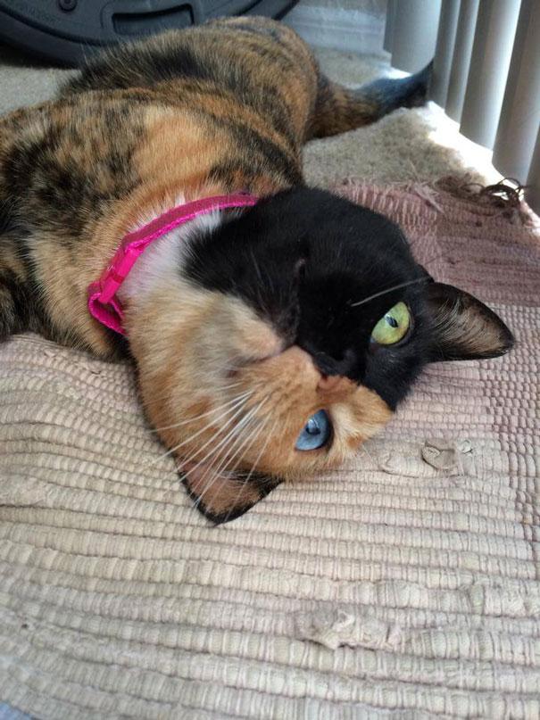 Conheça Venus, um gato com duas faces (13)