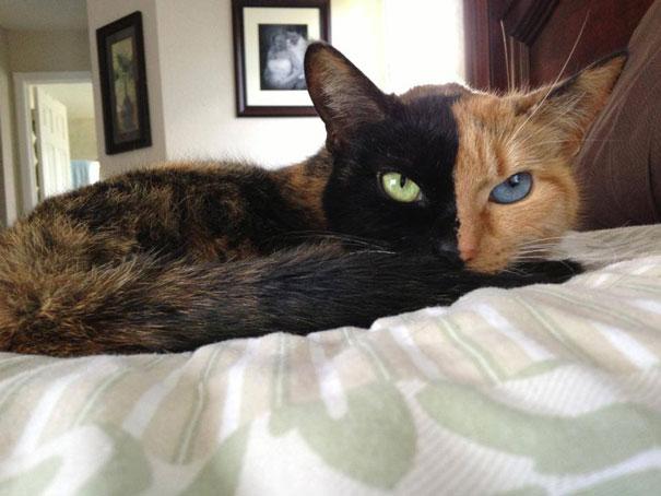 Conheça Venus, um gato com duas faces (14)
