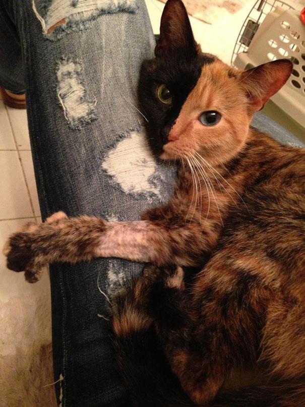 Conheça Venus, um gato com duas faces (15)