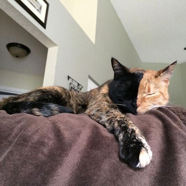 Conheça Venus, um gato com duas faces (17)