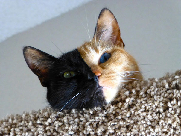 Venus, o gato de duas caras (2)