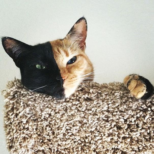 Venus, o gato de duas caras(3)