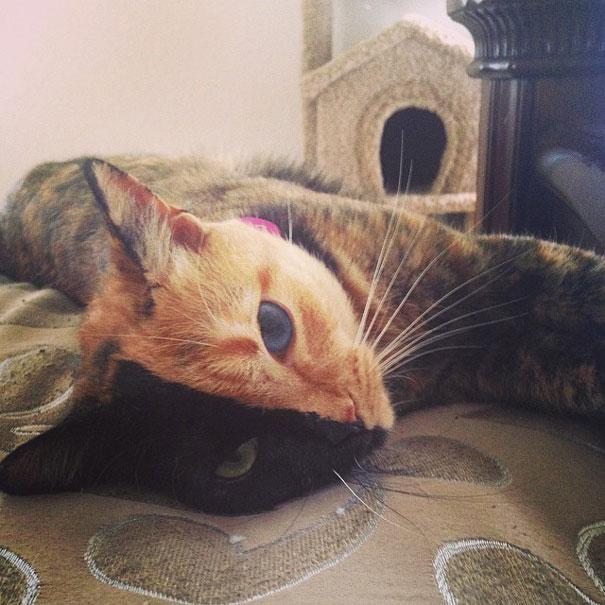 Conheça Venus, um gato com duas faces (7)