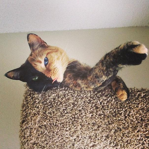 Conheça Venus, um gato com duas faces (8)