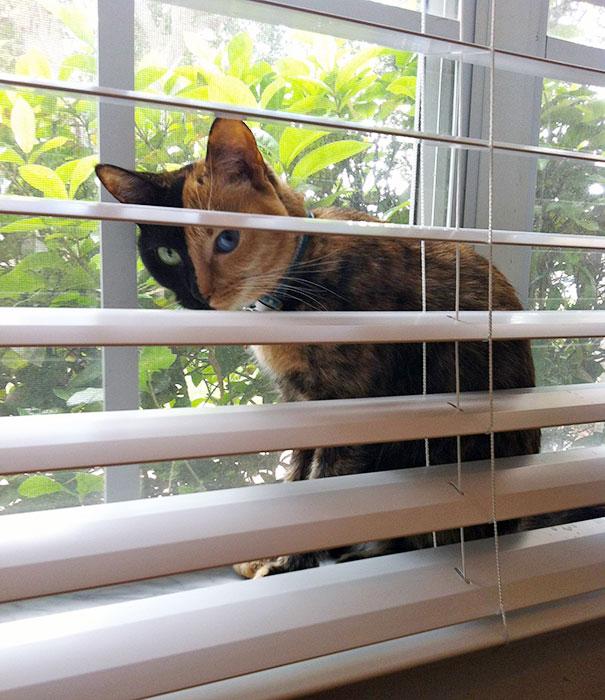 Conheça Venus, um gato com duas faces (9)