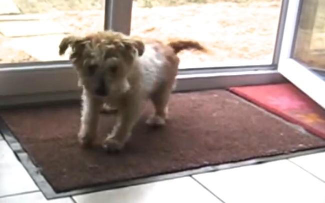 Cachorrinho educado limpa os pés antes de entrar em casa