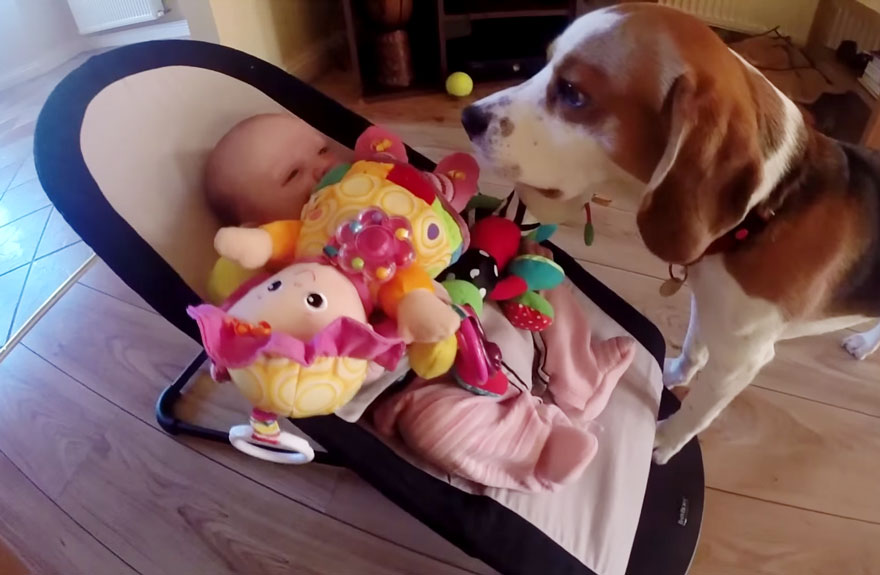 Cachorro pede desculpas após pegar brinquedos de bebê