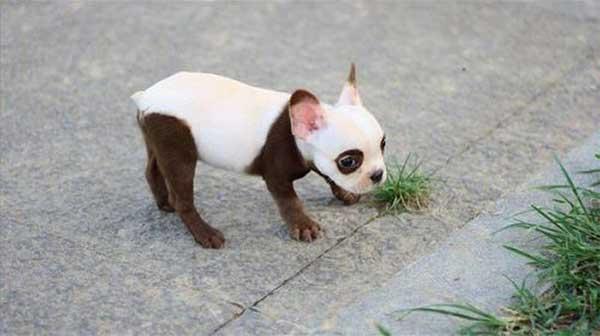 Cachorros-diferentes-por-suas-marcas-inusitadas-no-corpo (13)