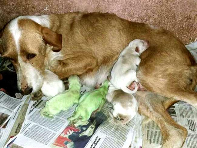 Cadela dá a luz a filhotes verdes (Cachorrinhos Hulk)