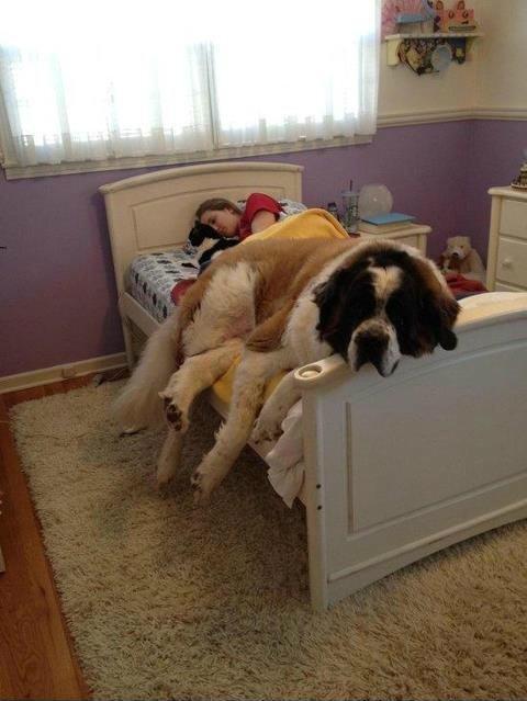 Cães-grandes-que-pensam-que-são-pequenos-para-ficarem-no-Colo-Blog-Animal (16)