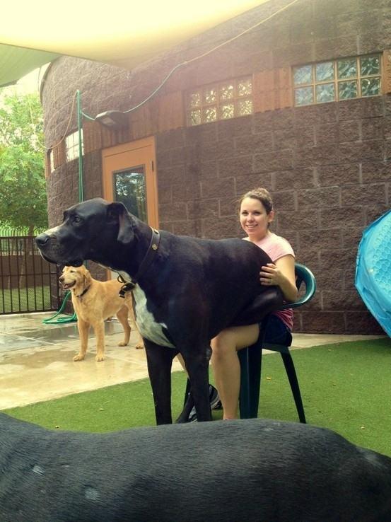 Cães-grandes-que-pensam-que-são-pequenos-para-ficarem-no-Colo-Blog-Animal (6)