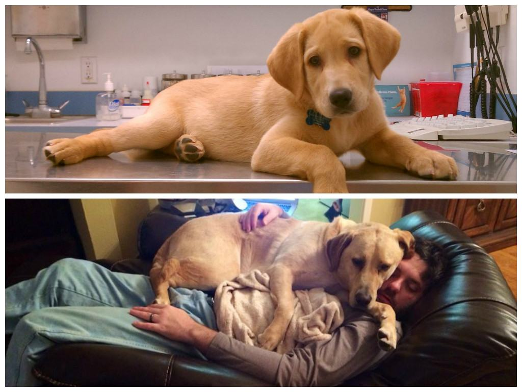 Cães-grandes-que-pensam-que-são-pequenos-para-ficarem-no-Colo-Blog-Animal (7)