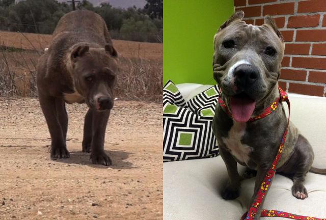 Cães resgatados - Antes e Depois (10)