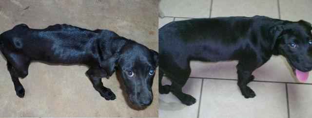 Cães resgatados - Antes e Depois (13)