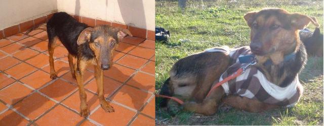 Cães resgatados - Antes e Depois (14)
