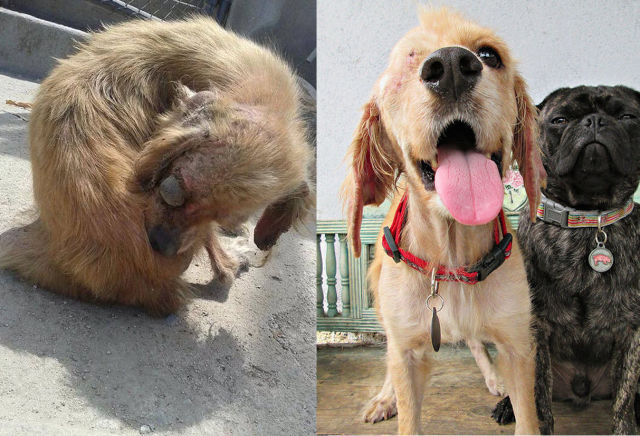 Cães resgatados - Antes e Depois (15)