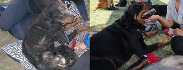 Cães resgatados - Antes e Depois (16)
